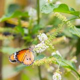 Plain tiger butterfly. On flower in public park in Thailand stock photo