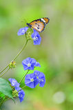 Plain tiger butterfly on flowers Stock Photos