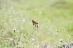 Plain Tiger. Butterfly on flowers stock image