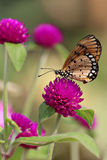 Plain tiger butterfly on globe amaranth or bachelor button flower. Butterfly on a violet flower in garden stock photos