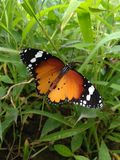Plain tiger butterfly. On the grass royalty free stock photos