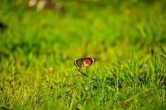 Plain Tiger Butterfly in the green stock images