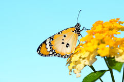Plain tiger butterfly on Lantana camara. With sky background stock images