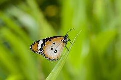 Plain Tiger Butterfly. Male Plain tiger butterfly (Danaus chrysippus, form alcippoides) is resting on leaf Royalty Free Stock Photo