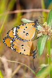 Plain tiger butterfly mating Royalty Free Stock Photography