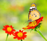 Plain Tiger butterfly on a mexican sunflower Stock Photo
