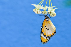 Plain tiger butterfly on milkweed Royalty Free Stock Photos