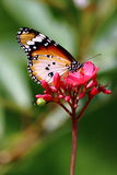 Plain Tiger Butterfly. In motion on red flower stock images