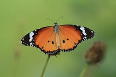 Plain Tiger butterfly. On green garden background stock image