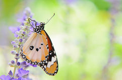Plain tiger butterfly on romantic garden. Plain tiger butterfly on sage with green garden background royalty free stock image