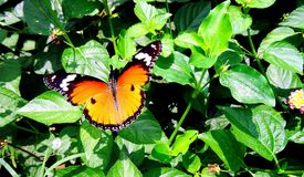 The plain tiger butterfly Royalty Free Stock Images