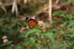 Plain tiger butterfly. Sitting on a Lantana flower royalty free stock photo