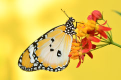 Plain Tiger Butterfly on yellow background Royalty Free Stock Photo