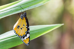 Plain Tiger butterfly . Royalty Free Stock Image