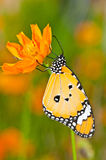 Plain tiger butterfly Stock Photos