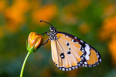 Plain Tiger ButterflyDanaus chrysippus, Butterfly. On the cosmos flower stock image