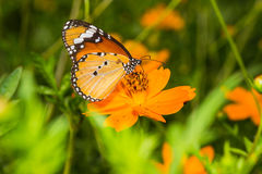 Plain Tiger ButterflyDanaus chrysippus, Butterfly. On the cosmos flower stock images