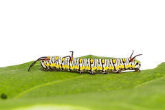 Plain tiger caterpillar Royalty Free Stock Photography
