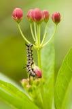 Plain Tiger Caterpillar Royalty Free Stock Photo