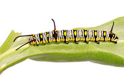 The Plain Tiger caterpillar. Danaus chrysippus caterpillar on the leaf stock photos