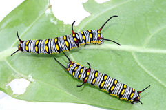 The Plain Tiger caterpillar. Danaus chrysippus caterpillar on the leaf royalty free stock photo