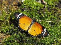 Plain Tiger Butterfly. Plain Tiger Danaus chrysippus butterfly at rest with open wings royalty free stock images