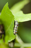 Plain Tiger (Danaus chrysippus) caterpillar. Is feeding on giant milkweed's leaf royalty free stock images