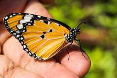 The Plain Tiger (Danaus chrysippus chrysippus) butterfly Stock Photo