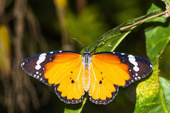 The Plain Tiger (Danaus chrysippus chrysippus) butterfly Royalty Free Stock Photos