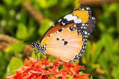 The Plain Tiger (Danaus chrysippus chrysippus) butterfly. Close up of the Plain Tiger butterfly perching on red Ixora flower stock images