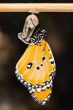The Plain Tiger (Danaus chrysippus chrysippus) butterfly Stock Image