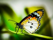 Colorful Plain Tiger butterfly in HortPark Singapore stock photos