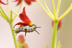 The Plain Tiger. At forest ,park ,garden stock image