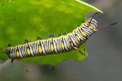 The Plain Tiger. Larva plain Tiger butterfly stock photo