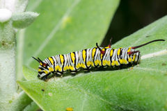 The Plain Tiger. Larva plain Tiger butterfly royalty free stock image
