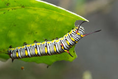 The Plain Tiger. Larva plain Tiger butterfly stock photography