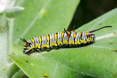 The Plain Tiger. Larva plain Tiger butterfly royalty free stock photo