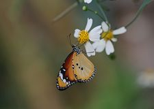 Plain Tiger. Butterfly feeding on white and yellow flowers stock photos