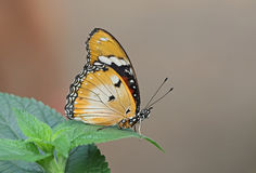 Plain Tiger. Underwing shot of a Plain Tiger butterfly stock images