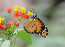 Plain Tiger. Underwing shot of a Plain Tiger butterfly royalty free stock photos