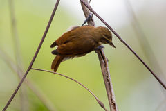 Plain Xenops. The Plain Xenops is brown and has a wegde shaped bill Stock Photography