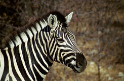 Plain zebra, Etosha National Park, Namibia royalty free stock images