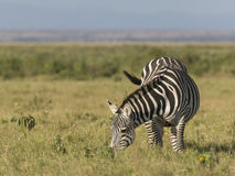 Plain zebra. Grazing  in green pasture of  Masai Mara National Reserve, Kenya Royalty Free Stock Photos