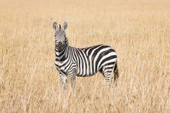 Plain Zebra Royalty Free Stock Photos