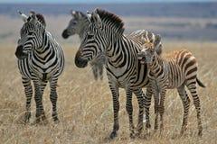 Plain Zebras. Mother and foal plains zebra, equus burchelli, on grassland of masai mara, Kenya Stock Photos