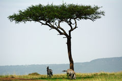 Plain zebras, Maasai Mara Game Reserve, Kenya. Plain zebras in Maasai Mara Game Reserve, Kenya Stock Photos