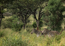 Plain Zebras in the morningly savannah at Ezulwini Game Lodge Royalty Free Stock Photo