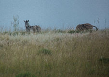 Plain Zebras in the morningly savannah at Ezulwini Game Lodge Stock Photo