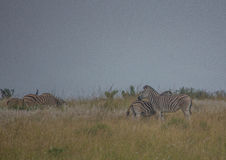 Plain Zebras in the morningly savannah at Ezulwini Game Lodge Stock Images