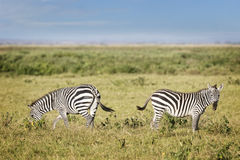 Plain zebras Royalty Free Stock Images